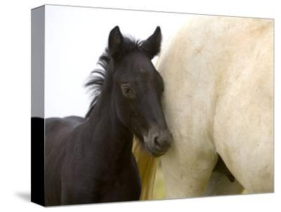 Detail of White Camargue Mother Horse and Black Colt, Provence Region, France-Jim Zuckerman-Stretched Canvas Print