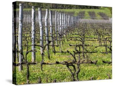 Vineyard in Cordon Royat, Bodega Pisano Winery, Progreso, Uruguay-Per Karlsson-Stretched Canvas Print