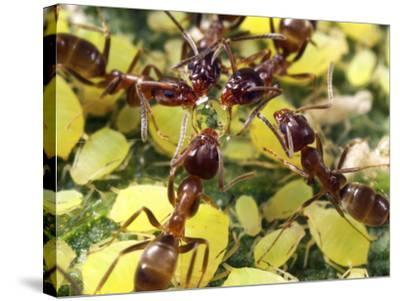 Close-up of Ants Harvesting Honeydew from Aphids, Lakeside, California, USA-Christopher Talbot Frank-Stretched Canvas Print