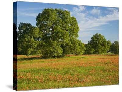Paint Brush in Fields Near Gay Hill, Texas, USA-Darrell Gulin-Stretched Canvas Print