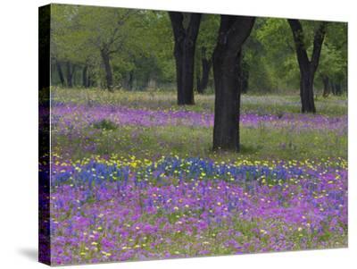 Field of Texas Blue Bonnets, Phlox and Oak Trees, Devine, Texas, USA-Darrell Gulin-Stretched Canvas Print