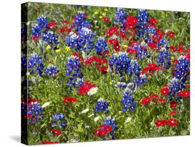 Texas Blue Bonnets and Red Phlox in Industry, Texas, USA-Darrell Gulin-Stretched Canvas Print