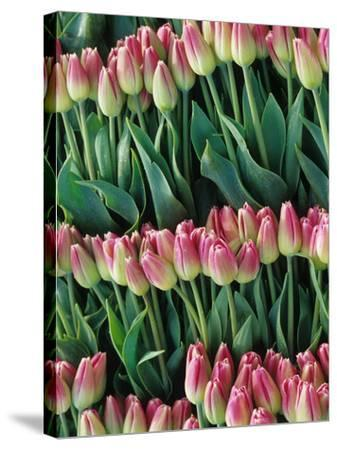 Pink Tulips, Skagit Valley, Washington, USA-John & Lisa Merrill-Stretched Canvas Print