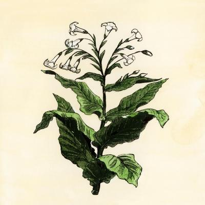 Tobacco Plant--Stretched Canvas Print