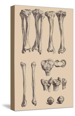Leg Bones-Andreas Vesalius-Stretched Canvas Print