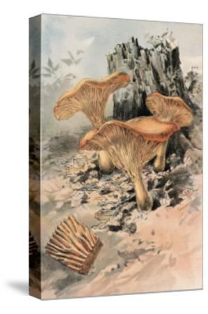 Canthareius Cibarius-William Hamilton Gibson-Stretched Canvas Print