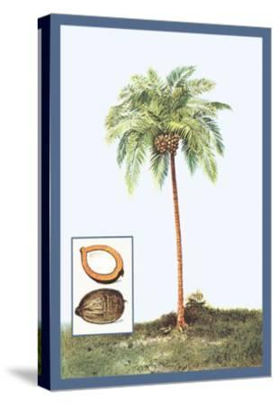 Coconut--Stretched Canvas Print