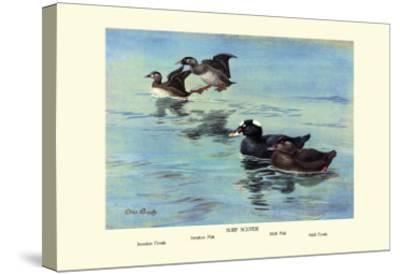 Surf Scoter Ducks-Allan Brooks-Stretched Canvas Print