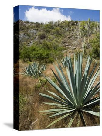 Agave Cactus for Making Mezcal, Oaxaca, Mexico, North America-Robert Harding-Stretched Canvas Print