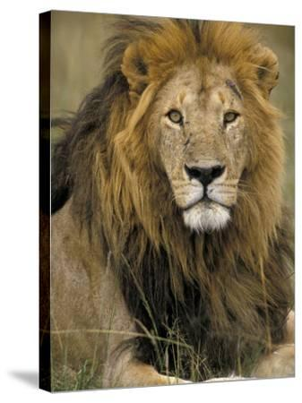 Portrait of a Lion, Kenya-Art Wolfe-Stretched Canvas Print