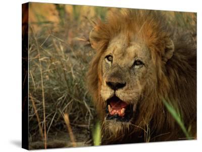 Close-Up of Male Lion (Panthera Leo), Mala Mala Game Reserve, Sabi Sand Park, South Africa, Africa-Sergio Pitamitz-Stretched Canvas Print