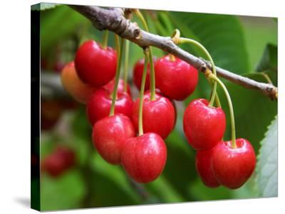 Cherries, Orchard near Cromwell, Central Otago, South Island, New Zealand-David Wall-Stretched Canvas Print