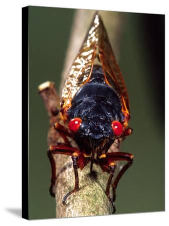 Seventeen Year Cicada, Pennsylvania, USA-David Northcott-Stretched Canvas Print