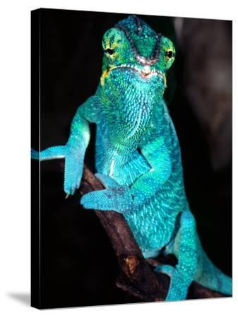 Nosy Be Blue Phase Panther Chameleon, Native to Madagascar-David Northcott-Stretched Canvas Print