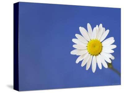 Marguerite / Ox Eye Daisy (Leucanthemum Vulgare) UK-Pete Cairns-Stretched Canvas Print