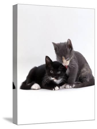 Domestic Cat, Blue Cream Kitten Washing Her Brother's Ear-Jane Burton-Stretched Canvas Print