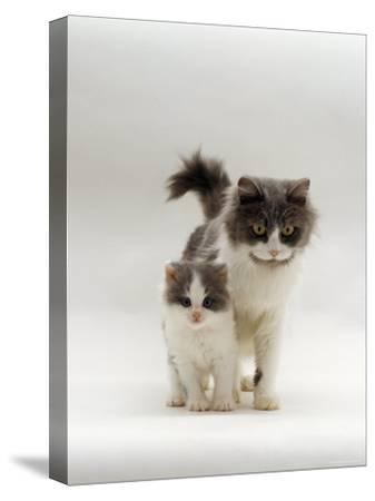 Domestic Cat, Blue Bicolour Persian-Cross Mother with Kitten-Jane Burton-Stretched Canvas Print