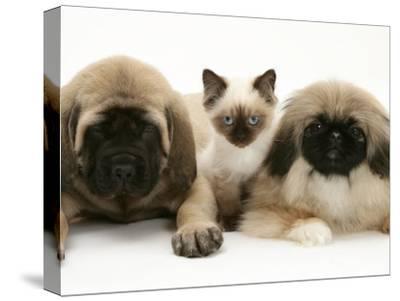 Pekingese and English Mastiff Puppies with Birman-Cross Kitten-Jane Burton-Stretched Canvas Print