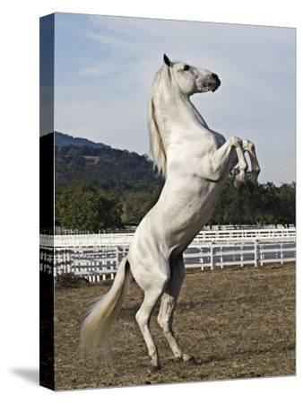Grey Andalusian Stallion Rearing, Ojai, California, USA-Carol Walker-Stretched Canvas Print