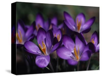Close View of Purple African Violets, Washington, D.C.-Stacy Gold-Stretched Canvas Print