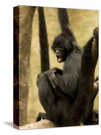 Black Spider Monkeys at the Omaha Zoo, Nebraska-Joel Sartore-Stretched Canvas Print