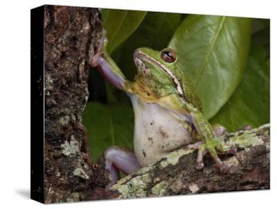 Barking Treefrog Climbs a Tree-George Grall-Stretched Canvas Print