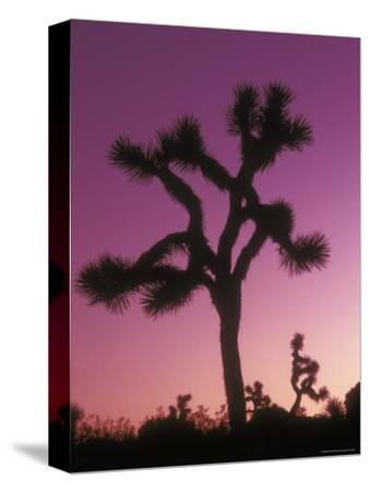 Joshua Trees with Colored Gel, California-Rich Reid-Stretched Canvas Print