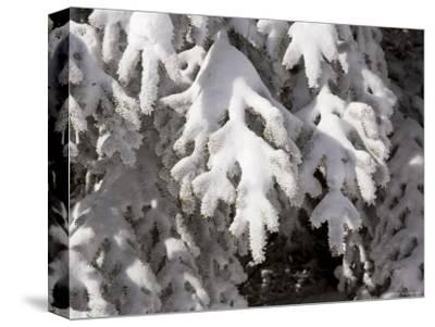 Detail of Snow on Conifer Branches-Tim Laman-Stretched Canvas Print