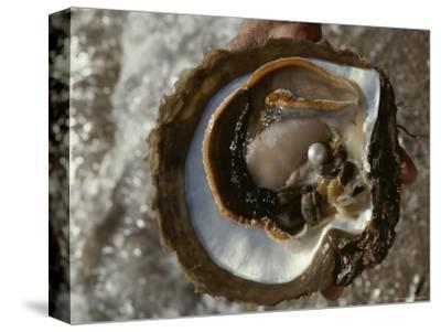 Cultured Pearl Grows in a Two-Year Old Oyster, Australia-David Doubilet-Stretched Canvas Print