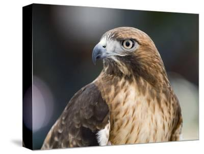 Recovering Captive Red-Tailed Hawk, California-Rich Reid-Stretched Canvas Print