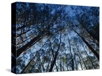 Sunlight Falling Through the Mountain Ash Eucalypt Forest Canopy, Alpine Nationals Park, Australia-Jason Edwards-Stretched Canvas Print