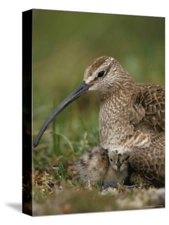 Whimbrel on Nest with Chick and Egg, Alaska-Michael S^ Quinton-Stretched Canvas Print