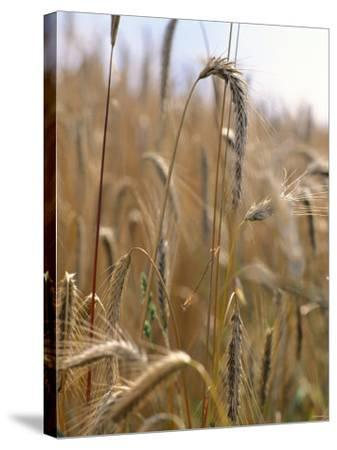 Ripe Barley Ears in the Field-Peter Rees-Stretched Canvas Print