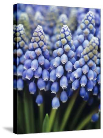 Several Grape Hyacinths--Stretched Canvas Print