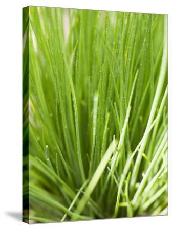 Fresh Chives in the Open Air--Stretched Canvas Print