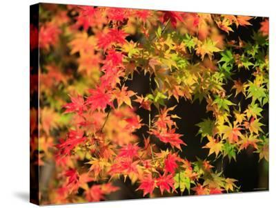 Autumn Leaves--Stretched Canvas Print