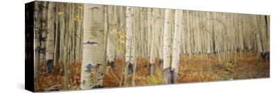 Aspen Trees in the Forest, Aspen, Colorado, USA--Stretched Canvas Print