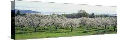 Cherry Trees in an Orchard, Mission Peninsula, Traverse City, Michigan, USA--Stretched Canvas Print