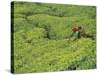 Tea Plantation, Kerala, Southern India-Peter Adams-Stretched Canvas Print