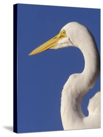 Great Egret, Ft. Myers Beach, Florida-Peter Hawkins-Stretched Canvas Print