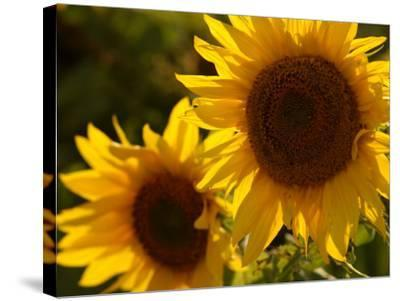 Sunflowers in Prairie Fields-Keith Levit-Stretched Canvas Print