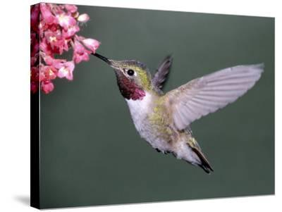 Male Broad Tail Hummingbird-Russell Burden-Stretched Canvas Print