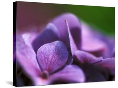 Hydrangea Macrophylla (Bouquet Rose), Close-up-Ruth Brown-Stretched Canvas Print