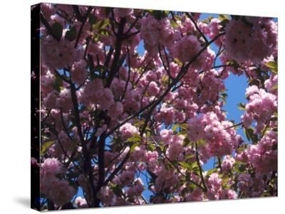 Flowering Cherry Tree, Ct-Kurt Freundlinger-Stretched Canvas Print