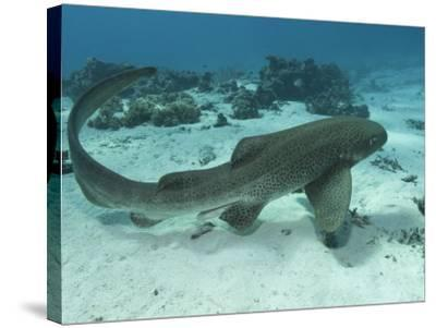 Leopard Shark, Male Swimming Over Ocean Floor, New Caledonia-Tobias Bernhard-Stretched Canvas Print