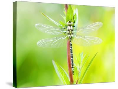 Common Hawker, Newly Emerged Male on Plant, UK-Mike Powles-Stretched Canvas Print