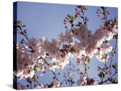Cherry Blossom-Rudi Von Briel-Stretched Canvas Print
