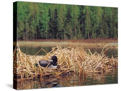 Loon on Nest in Water-Mike Robinson-Stretched Canvas Print