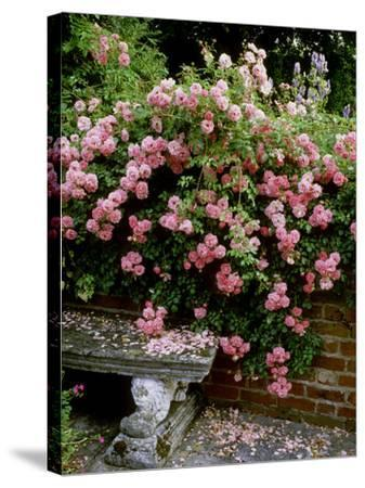 """""""Pheasant"""" Rose Cascades Over Wall onto Stone Bench-Ron Evans-Stretched Canvas Print"""