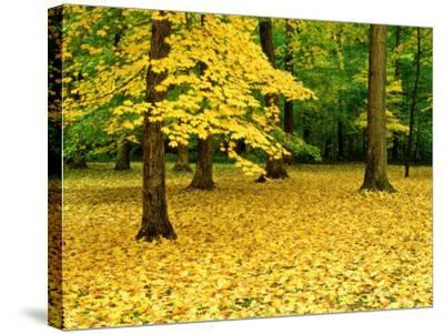 Maple Leaves and Trees in Fall Colour at Funks Grove, Il-Willard Clay-Stretched Canvas Print